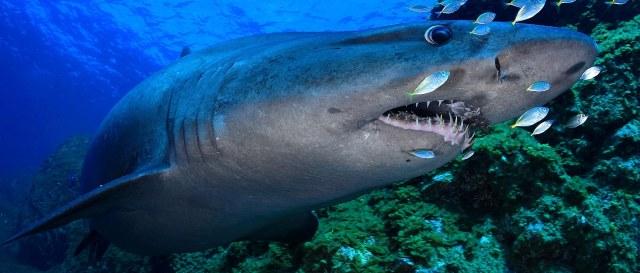 tiburon-toro-en-el-hierro-1
