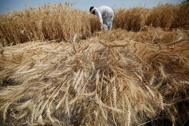 Agricultor cosecha trigo en la granja Qalyub en la gobernación de El-Kalubia, al noreste de El Cairo, Egipto 1 de mayo de 2016. REUTERS / Amr Abdallah Dalsh