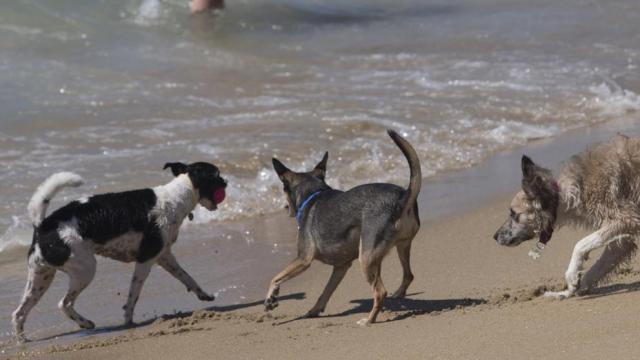 Unos perros juegan en la orilla de la playa de Levante de la ciudad de Barcelona, que estrena su primera playa para perros durante el verano. Foto: EFE