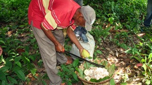 Venezuela y Latinoamérica unidas para rescatar producción de cacao fino de aroma venezolano