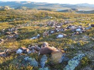 Un rayo mata a 300 renos en Noruega (fotos)