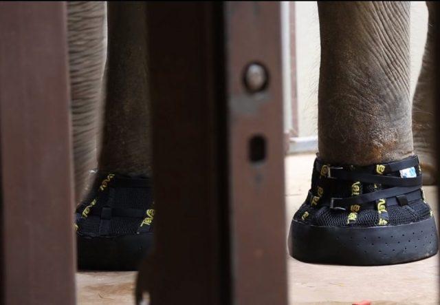 Esta imagen tomada de un video, proporcionada por el Zoológico Nacional Smithsonian, muestra a Shanthi, una elefanta asiática de 41 años, a la que recientemente le fueron colocados el mayor par de botas Teva en Washington en sus patas delanteras. (Zoológico Nacional Smithsonian vía AP)
