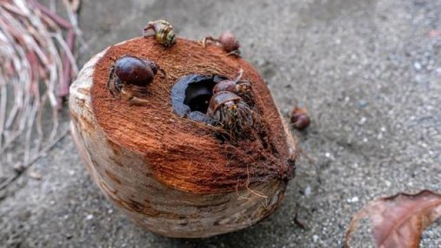 Cangrejos ermitaños alimentándose de un coco- sergejf/FLICKR