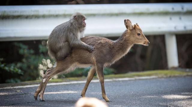 An undated handout picture released on January 10  2017  by the Issekinicho publishing house shows an inter-species sexual behaviour between a male Japanese macaque and female sika deer  in Yakushimaru  Scientists revealed on January 10  2017 the  highly unusual  behaviour of a male monkey filmed trying to have sex with female deer in Japan -- a rare case of inter-species nookie    AFP PHOTO   Editions Issekinicho AND Springer Nature   Alexandre Bonnefoy   RESTRICTED TO EDITORIAL USE - MANDATORY CREDIT  AFP PHOTO   EDITIONS ISSEKINICHO  - SPRINGER NATURE   ALEXANDRE BONNEFOY- NO MARKETING NO ADVERTISING CAMPAIGNS - DISTRIBUTED AS A SERVICE TO CLIENTS