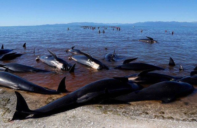 Volunteers Try To Guide Some Of The Stranded Pilot Whales Still Alive In Background