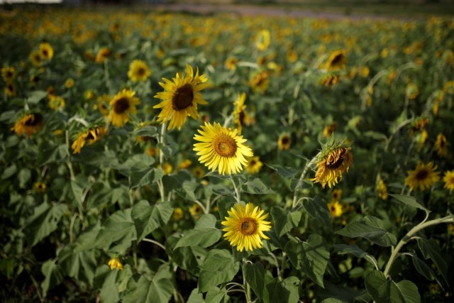 Sunflowers are seen on a field at the entrance of the Sidor steel plant in Puerto Ordaz, Venezuela January 27, 2017. Picture taken January 27, 2017. REUTERS/Marco Bello