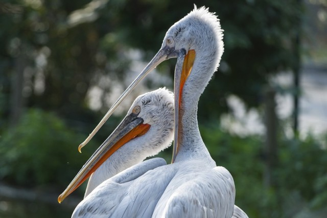 pelicanos Schönbrunn zoologico