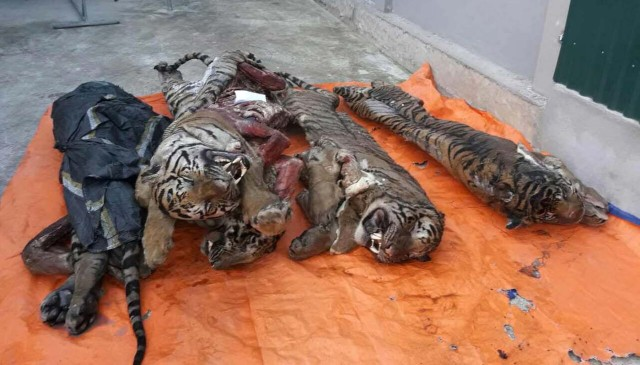 This picture taken on March 20, 2017 shows five frozen tigers, which were seized by local authorities, in the central province of Nghe An. Five frozen tigers have been discovered in a Vietnamese man's freezer with their organs removed, according to official reports on March 21, in a country seen as a global hub for the illegal wildlife trade. / AFP PHOTO / STR