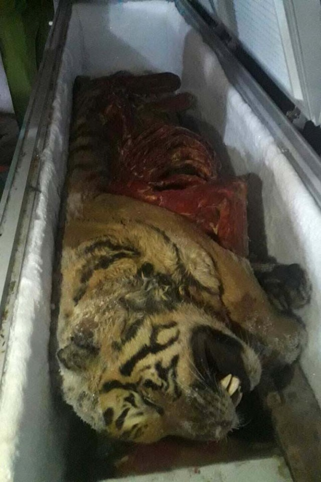 This picture taken on March 20, 2017 shows one of five frozen tigers, which were seized by local authorities, in the central province of Nghe An. Five frozen tigers have been discovered in a Vietnamese man's freezer with their organs removed, according to official reports on March 21, in a country seen as a global hub for the illegal wildlife trade. / AFP PHOTO / STR