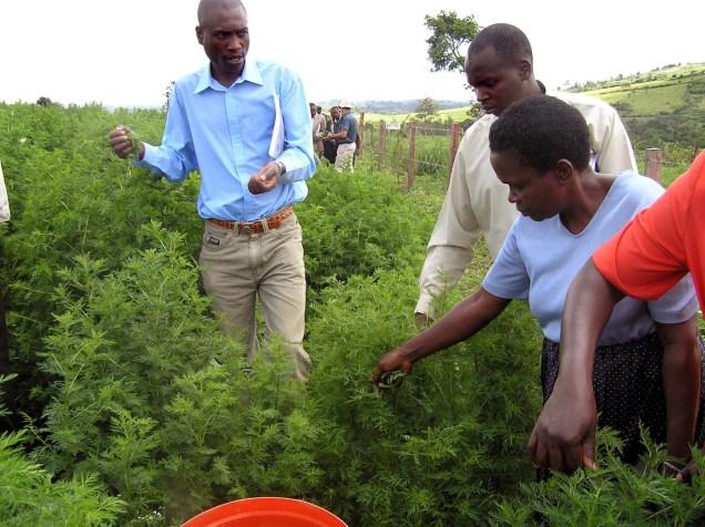 """KEN01, NAIROBI, 21/02/06.- Varios agricultores kenianos reciben instrucciones sobre el cultivo y cosecha de """"artemisia annua"""", planta de la que se extráen ingredientes para fabricar la medicina más eficaz contra la malaria. EFE"""