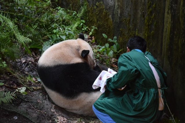 This photo taken on July 31, 2017 shows a keeper retrieving a panda cub from its mother Cao Cao in Wolong in China's southwestern Sichuan province. China has welcomed the world's first giant panda cub to be born to a mixed pair of captive and wild parents, the official Xinhua news agency said. Palm-sized and pink, covered in a downy layer of white fuzz from its tiny claws to its strangely long tail, the baby was born early morning on July 31 to 15-year-old mom Cao Cao at the Hetaoping semi-wild training base in the southwestern province of Sichuan. / AFP PHOTO / STR / China OUT