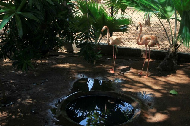 Flamingos are seen at the Zulia's Metropolitan Zoological Park in Maracaibo, Venezuela August 16, 2017. REUTERS/Isaac Urrutia