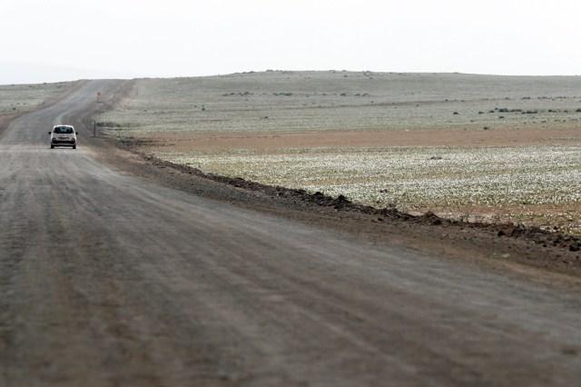 CH01. ATACAMA (CHILE), 21/08/2017.- Vista de flores en el desierto de Atacama (Chile), hoy, lunes 21 de agosto de 2017. Las intensas y sorpresivas precipitaciones registradas en las regiones del norte de Chile durante los meses del invierno austral dieron paso al deslumbrante desierto florido en Atacama, el más árido y soleado del mundo. Este fenómeno, que ocurre con una distancia de cinco o siete años, pero que se ha vuelto recurrente debido a la presencia de el fenómeno climatológico El Niño, atrae a miles de turistas con sus más de 200 especies florales y fauna endémica. EFE/Mario Ruiz