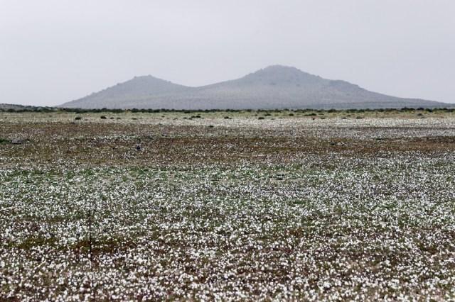 CH02. ATACAMA (CHILE), 21/08/2017.- Vista de flores en el desierto de Atacama (Chile), hoy, lunes 21 de agosto de 2017. Las intensas y sorpresivas precipitaciones registradas en las regiones del norte de Chile durante los meses del invierno austral dieron paso al deslumbrante desierto florido en Atacama, el más árido y soleado del mundo. Este fenómeno, que ocurre con una distancia de cinco o siete años, pero que se ha vuelto recurrente debido a la presencia de el fenómeno climatológico El Niño, atrae a miles de turistas con sus más de 200 especies florales y fauna endémica. EFE/Mario Ruiz