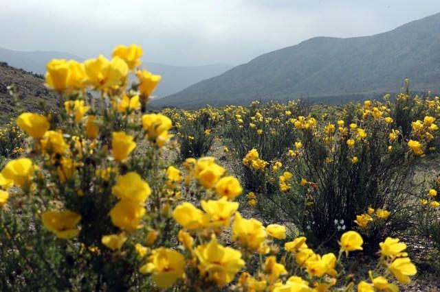 CH03. ATACAMA (CHILE), 21/08/2017.- Vista de flores en el desierto de Atacama (Chile), hoy, lunes 21 de agosto de 2017. Las intensas y sorpresivas precipitaciones registradas en las regiones del norte de Chile durante los meses del invierno austral dieron paso al deslumbrante desierto florido en Atacama, el más árido y soleado del mundo. Este fenómeno, que ocurre con una distancia de cinco o siete años, pero que se ha vuelto recurrente debido a la presencia de el fenómeno climatológico El Niño, atrae a miles de turistas con sus más de 200 especies florales y fauna endémica. EFE/Mario Ruiz