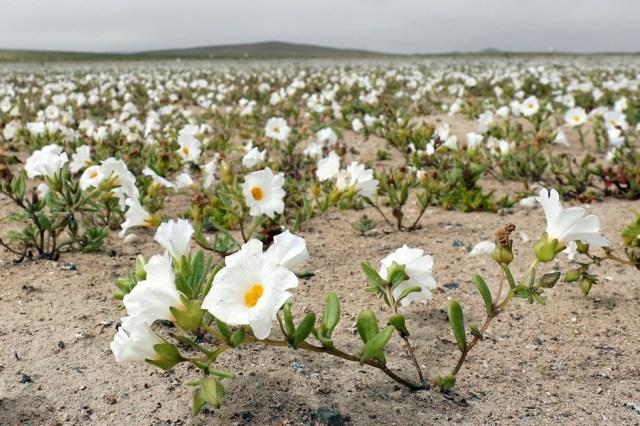 CH04. ATACAMA (CHILE), 21/08/2017.- Vista de flores en el desierto de Atacama (Chile), hoy, lunes 21 de agosto de 2017. Las intensas y sorpresivas precipitaciones registradas en las regiones del norte de Chile durante los meses del invierno austral dieron paso al deslumbrante desierto florido en Atacama, el más árido y soleado del mundo. Este fenómeno, que ocurre con una distancia de cinco o siete años, pero que se ha vuelto recurrente debido a la presencia de el fenómeno climatológico El Niño, atrae a miles de turistas con sus más de 200 especies florales y fauna endémica. EFE/Mario Ruiz