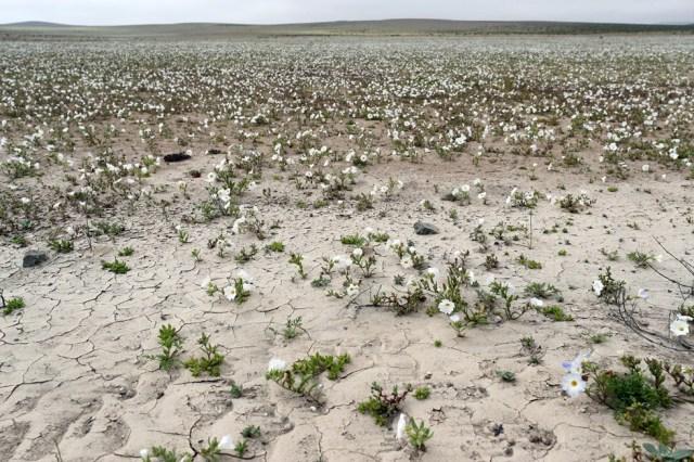 CH05. ATACAMA (CHILE), 21/08/2017.- Vista de flores en el desierto de Atacama (Chile), hoy, lunes 21 de agosto de 2017. Las intensas y sorpresivas precipitaciones registradas en las regiones del norte de Chile durante los meses del invierno austral dieron paso al deslumbrante desierto florido en Atacama, el más árido y soleado del mundo. Este fenómeno, que ocurre con una distancia de cinco o siete años, pero que se ha vuelto recurrente debido a la presencia de el fenómeno climatológico El Niño, atrae a miles de turistas con sus más de 200 especies florales y fauna endémica. EFE/Mario Ruiz
