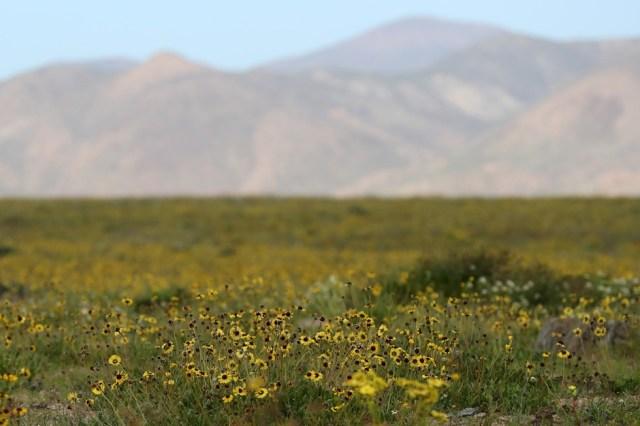 CH06. ATACAMA (CHILE), 21/08/2017.- Vista de flores en el desierto de Atacama (Chile), hoy, lunes 21 de agosto de 2017. Las intensas y sorpresivas precipitaciones registradas en las regiones del norte de Chile durante los meses del invierno austral dieron paso al deslumbrante desierto florido en Atacama, el más árido y soleado del mundo. Este fenómeno, que ocurre con una distancia de cinco o siete años, pero que se ha vuelto recurrente debido a la presencia de el fenómeno climatológico El Niño, atrae a miles de turistas con sus más de 200 especies florales y fauna endémica. EFE/Mario Ruiz