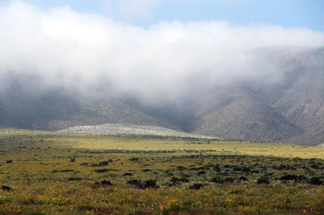 CH07. ATACAMA (CHILE), 21/08/2017.- Vista de flores en el desierto de Atacama (Chile), hoy, lunes 21 de agosto de 2017. Las intensas y sorpresivas precipitaciones registradas en las regiones del norte de Chile durante los meses del invierno austral dieron paso al deslumbrante desierto florido en Atacama, el más árido y soleado del mundo. Este fenómeno, que ocurre con una distancia de cinco o siete años, pero que se ha vuelto recurrente debido a la presencia de el fenómeno climatológico El Niño, atrae a miles de turistas con sus más de 200 especies florales y fauna endémica. EFE/Mario Ruiz