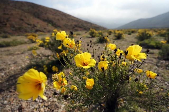 CH08. ATACAMA (CHILE), 21/08/2017.- Vista de flores en el desierto de Atacama (Chile), hoy, lunes 21 de agosto de 2017. Las intensas y sorpresivas precipitaciones registradas en las regiones del norte de Chile durante los meses del invierno austral dieron paso al deslumbrante desierto florido en Atacama, el más árido y soleado del mundo. Este fenómeno, que ocurre con una distancia de cinco o siete años, pero que se ha vuelto recurrente debido a la presencia de el fenómeno climatológico El Niño, atrae a miles de turistas con sus más de 200 especies florales y fauna endémica. EFE/Mario Ruiz