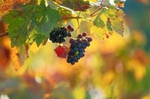 Los viñedos franceses se congelaron; fuerte caída de producción este año