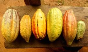 Cacao venezolano: ¿Criollo, fino de aroma o ambos?