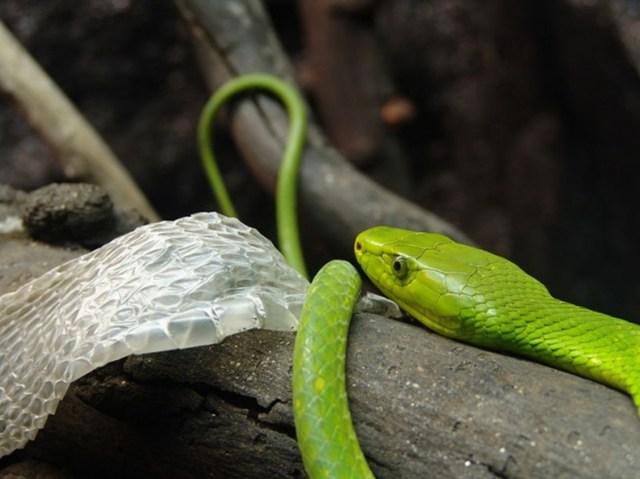 La piel de serpiente. Contempla cómo luce la piel que cambia una serpiente: es una verdadera obra de arte.