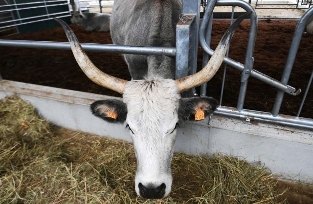 A Chianina cow is pictured during a press tour at FICO Eataly World agri-food park in Bologna on November 9, 2017. FICO Eataly World, said to be the world's biggest agri-food park, will open to the public on November 15, 2017. The free entry park, widely described as the Disney World of Italian food, is ten hectares big and will enshrine all the Italian food biodiversity. / AFP PHOTO / Vincenzo PINTO