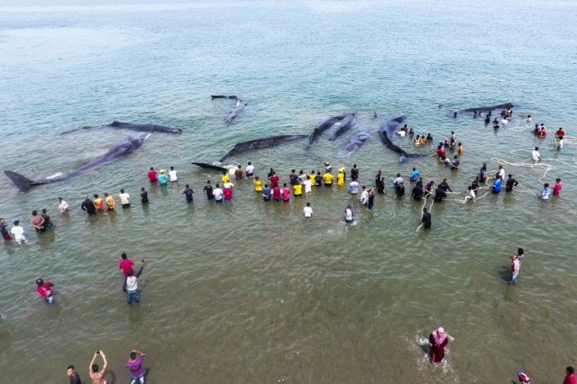 This general picture taken by a drone camera shows Indonesian officers from Nature Conservation Agency (BKSDA) and environmental activists trying to refloat nine stranded sperm whales in Aceh Besar on November 13, 2017. / AFP PHOTO / CHAIDEER MAHYUDDIN
