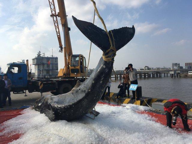 El cuerpo de una ballena jorobada es levantado en tierra después de que, según los medios locales, quedó varado por tercera vez en tres días, en Qidong, provincia de Jiangsu, China, 15 de noviembre de 2017. REUTERS / Stringer EDITORES DE ATENCIÓN - ESTA IMAGEN FUE PROPORCIONADA POR UN TERCERO. CHINA FUERA.