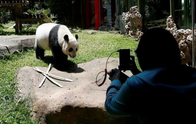 Un periodista indonesio toma una fotografía de la panda gigante Hu Chun durante un evento para la prensa en el Safari Zoo en Bogor, Indonesia, hoy, 1 de noviembre de 2017. Cai Tao y Hu Chun, llegaron a Indonesia procedentes de Chengdu (China) el pasado septiembre y fueron puestos en cuarentena durante un mes antes de ser expuestos al público en el Safari Zoo. EFE/ADI WEDA