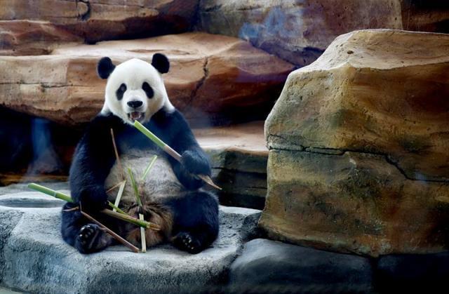 El panda gigante Cai Tao come durante un evento para la prensa en el Safari Zoo en Bogor, Indonesia, hoy, 1 de noviembre de 2017. Cai Tao y Hu Chun, llegaron a Indonesia procedentes de Chengdu (China) el pasado septiembre y fueron puestos en cuarentena durante un mes antes de ser expuestos al público en el Safari Zoo. EFE/ADI WEDA