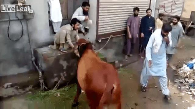 ataque de vaca