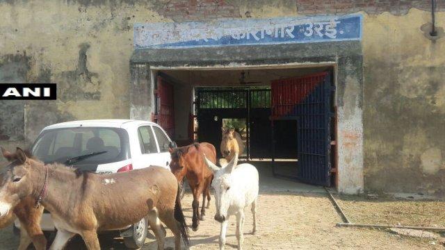 Los burros fueron liberados tras la intercesión de un político local.