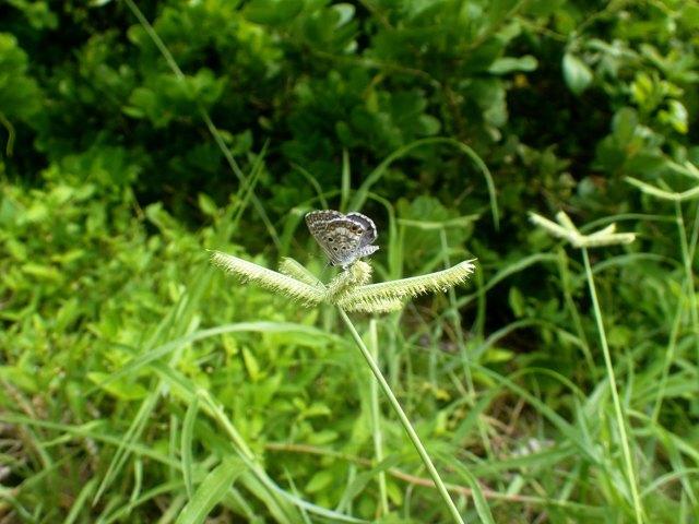 Fotografía sin fecha, cedida hoy, sábado 4 de noviembre de 2017, por el Museo de Historia Natural de la Florida (EE.UU.), de una mariposa azul de Miami, uno de los insectos más escasos de Estados Unidos