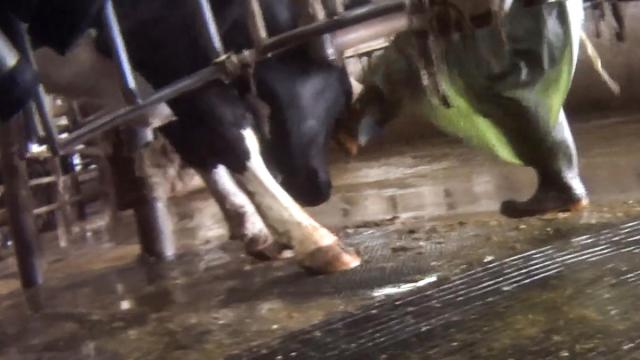 sfl-pictures-capture-possible-abuse-of-cows-20-033