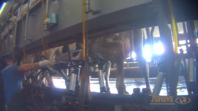 sfl-pictures-capture-possible-abuse-of-cows-20-040