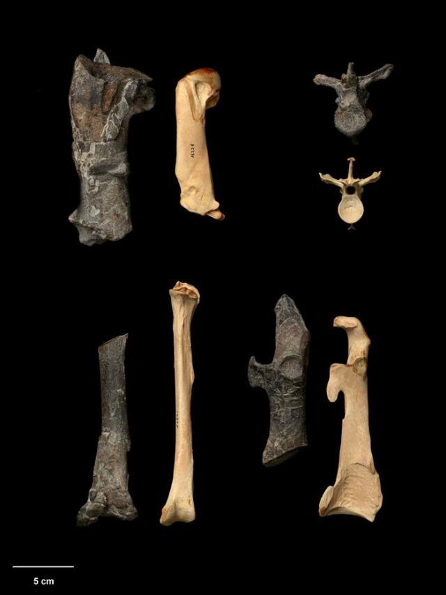 Una especie gigante de pingüinos, que tenían el tamaño de un hombre adulto, habitó Nueva Zelanda hace entre 55 y 60 millones de años. Un grupo de investigadores de Alemania y Nueva Zelanda reveló, en un estudio publicado en la revista científica Nature Communications, la existencia de este pingüino que medía 1,65 metros en pie y pesaba unos 100 kilogramos. En la foto, comparativa de los huesos del pingüino Kuminamu biceae (oscuros),que alcanzaba los 1,65 metros de altura y vivió en Nueva Zelanda hace 55 millones de años, y huesos del pingüino emperador (pálido), el de más tamaño en la actualidad con 1,22 metros. EFE/Jean-Claude
