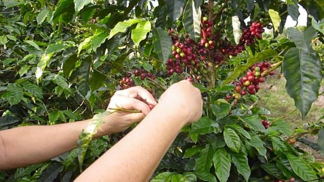 Siembras de café en Colombia. Foto Archivo