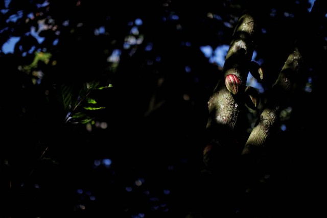 Cocoa pods are seen at the plantation of Yoffre Echarri in Caruao, Venezuela October 24, 2017. Picture taken October 24, 2017. REUTERS/Carlos Garcia Rawlins