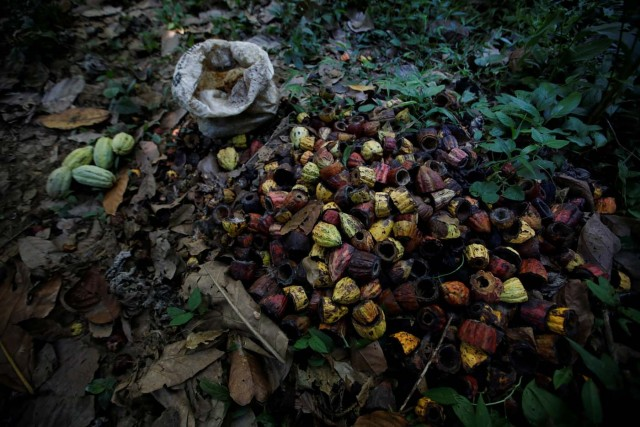 Opened cocoa pods are seen at the plantation of Yoffre Echarri in Caruao, Venezuela October 24, 2017. Picture taken October 24, 2017. REUTERS/Carlos Garcia Rawlins