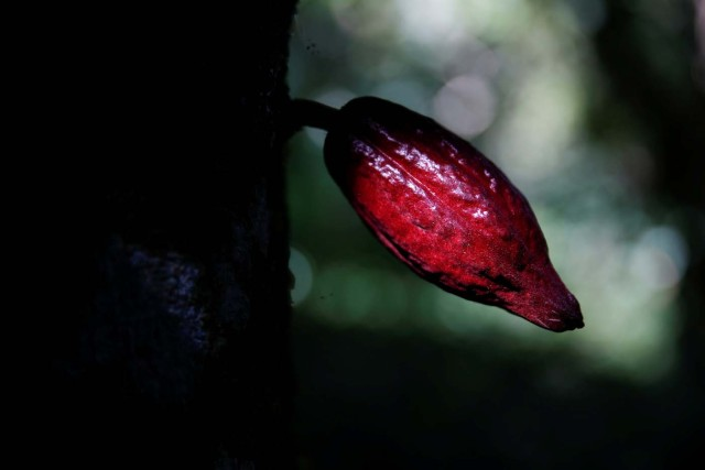 A cocoa pod is seen at the plantation of Yoffre Echarri in Caruao, Venezuela October 24, 2017. Picture taken October 24, 2017. REUTERS/Carlos Garcia Rawlins