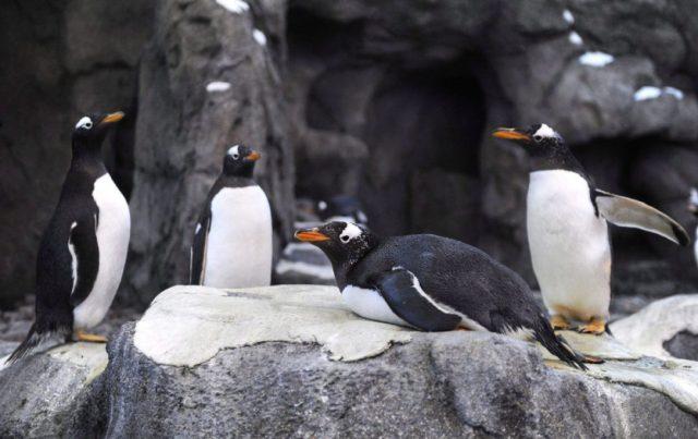Los pinguinos en el zoo de Canadá