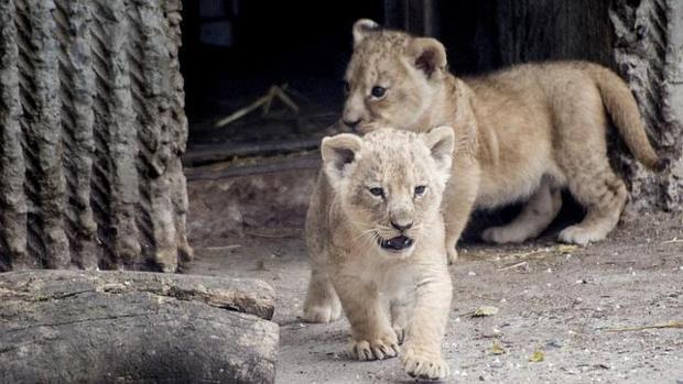 Dos cachorros de león en el zoo de Copenhague, Dinamarca - EFE