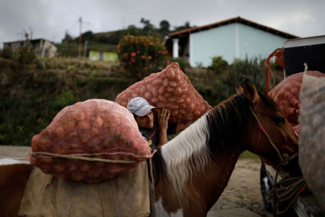 "Adrian Pernia moves sacks of potatoes from his horse Pinto to a truck during the harvest at a farm in La Grita, Venezuela January 26, 2018. REUTERS/Carlos Garcia Rawlins SEARCH ""LAWLESS ROADS"" FOR THIS STORY. SEARCH ""WIDER IMAGE"" FOR ALL STORIES.?"