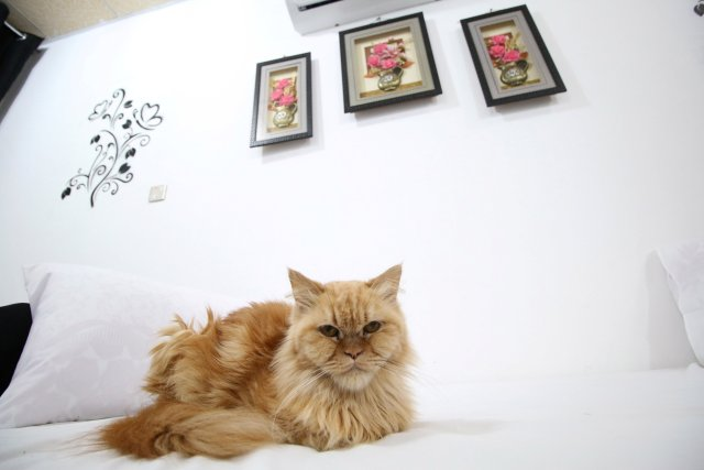 A cat is seen at a room in a cat hotel in Basra, Iraq, March 13, 2018. Picture taken March 13, 2018. REUTERS/Essam Al-Sudani