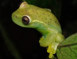 Una nueva especie de rana fue descubierta por científicos de Venezuela y Colombia (video)