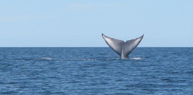 El frío reinante hizo que la mayoría de ellas muriesen y el equipo de salvamento decidió llevar a tres ballenas a la orilla, para tratarlas y luego devolverlas a alta mar. (Archivo)