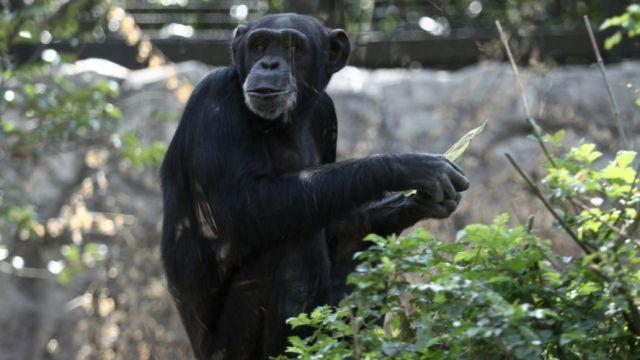 El chimpancé Tamba. @EnterateMexico_