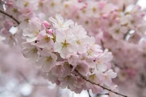Espectaculares imágenes de los cerezos en flor en Washington DC